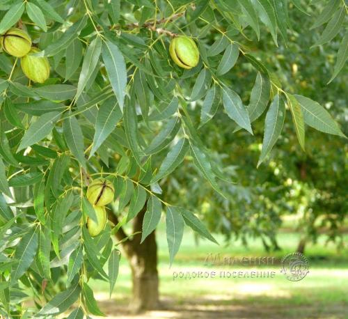 Листья с плодами