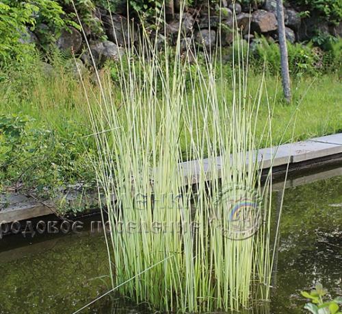 Камыш озерный Албесенс