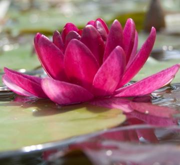 Водяная кувшинка Бургундская принцесса