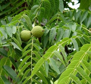 Листья и орехи
