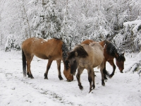 Лошади кормятся из под снега