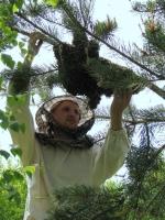 Снятие роя с дерева