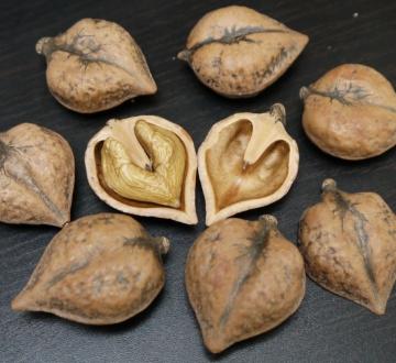 Орех сердцевидный сортовой