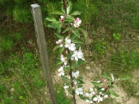 Яблони зацвели