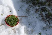 Петрушка под снегом