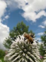 Пчелы на цветах