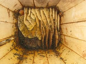 Внутри колоды с пчелами